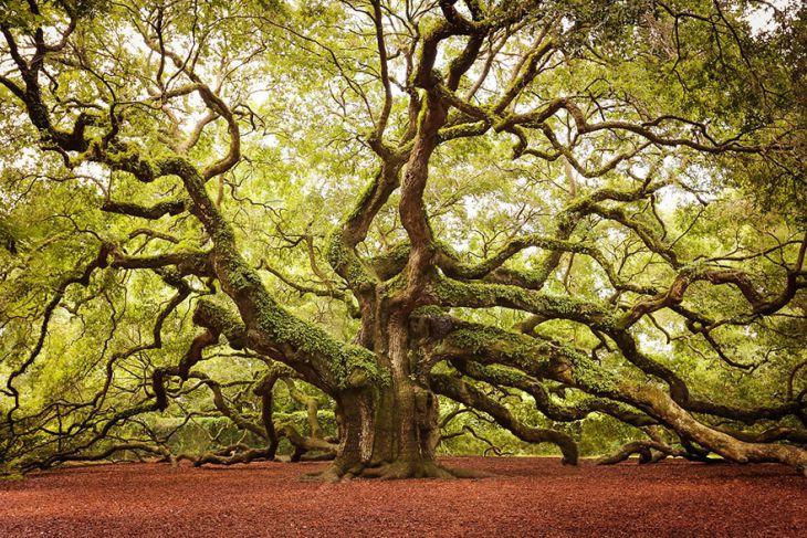 Melek Meşe Ağacı