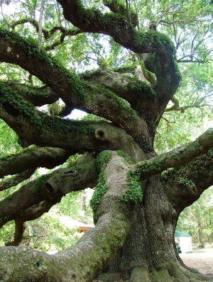 Meşe ağacı