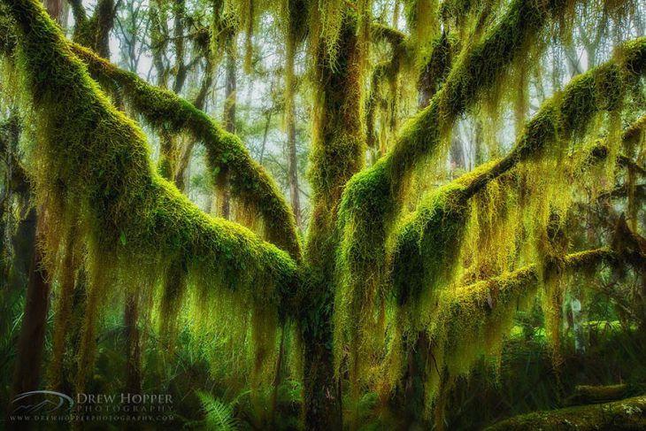 Yosun Kaplı Kayın Ağacı