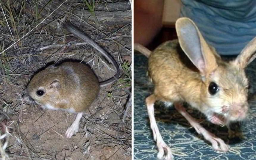 Arap Tavşanı - Kır Tavşanı - Ada Tavşanı - Yer Köpeği