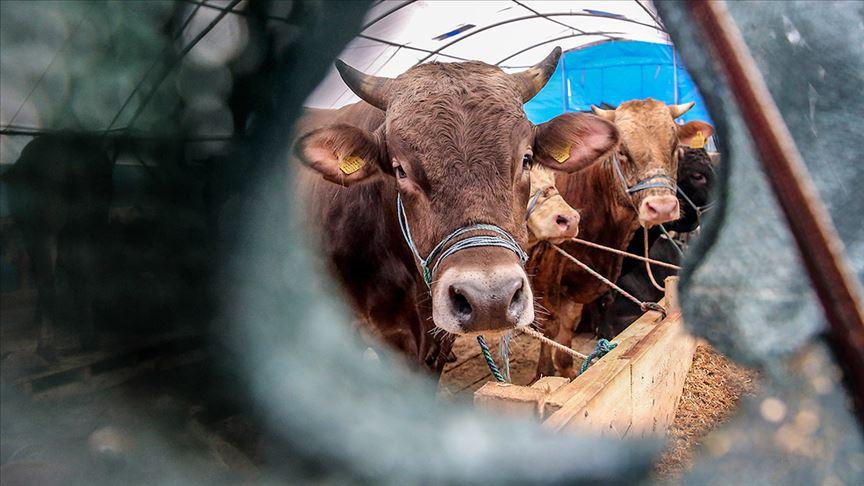 Canlı Hayvan İthalatı Yüzde 63 Azaldı İhracat Yüzde 32 Arttı