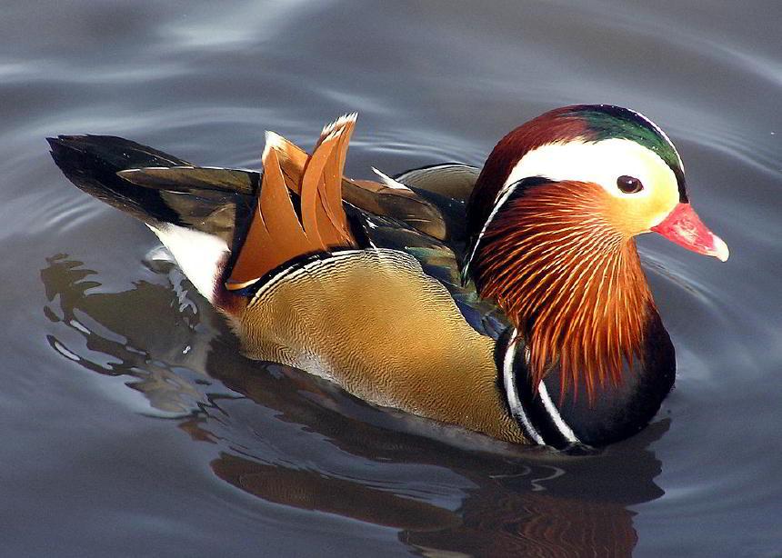 Mandarin Ördeği