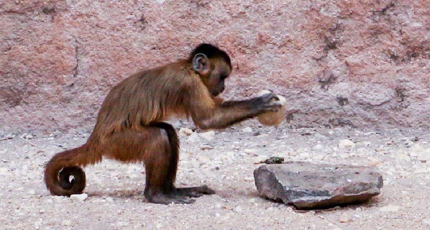 Maymunlar Keskin Kenarlı Taş Aletler Yapabiliyor