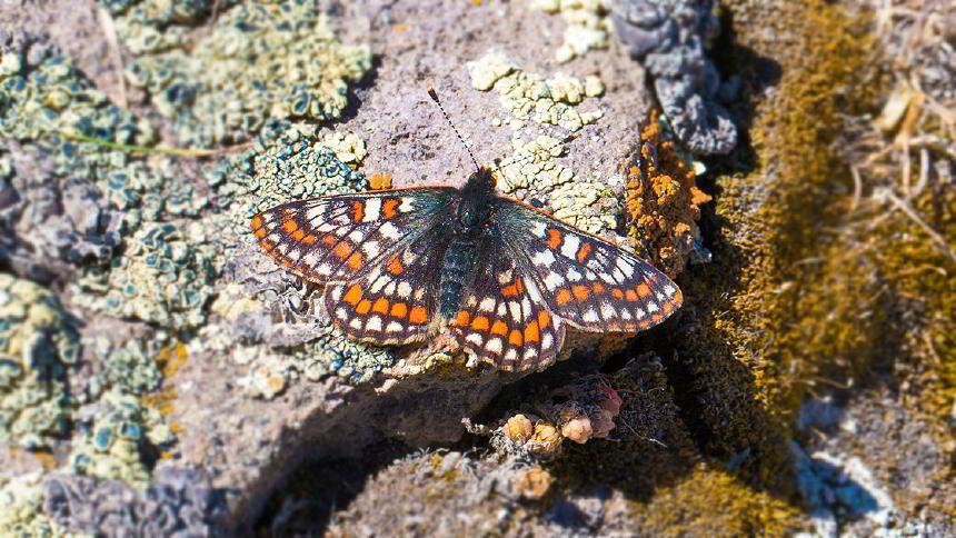 12 Bin Yaşındaki Kelebek 50 Yıl Sonra Ağrı Dağı'nda Yeniden Görüntülendi