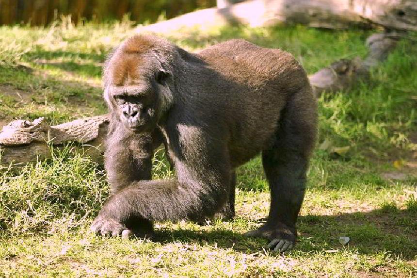 Yaban hayatın bir parçası olan goril
