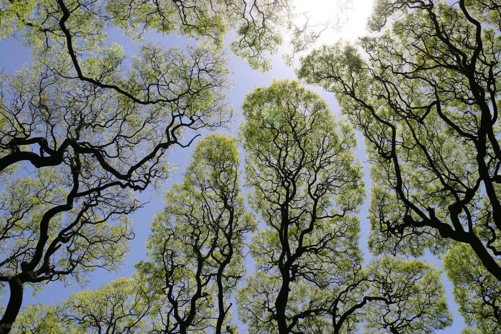 """Birbirine dokunmayan ağaçlar - """"Taç utangaçlığı"""""""