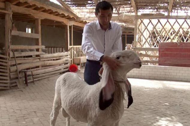 Wagir Cinsi Koyunlar