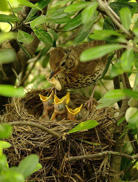 Öter Ardıç Kuşu (Çil Bakal)