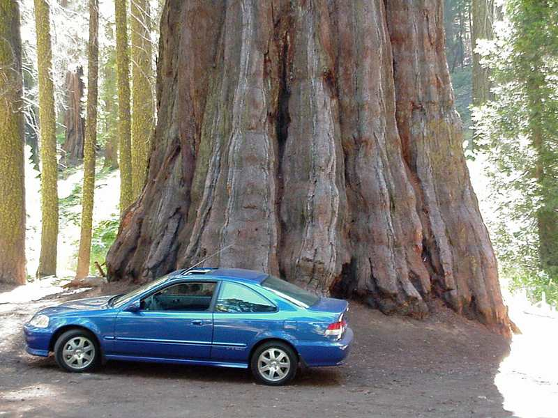 Sekoya - Dünyanın En Büyük Ağacı