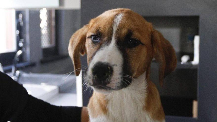 Köpeklerde Gençlik Hastalığı (Canine Distemper)
