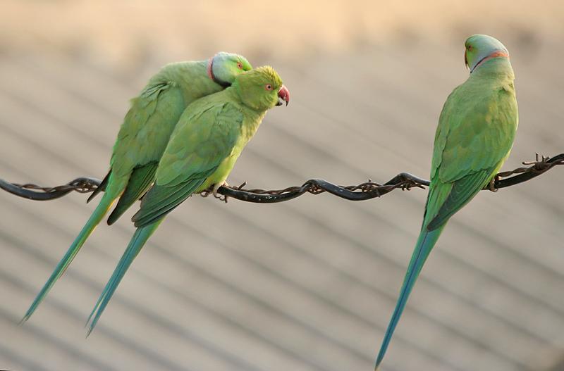 İstanbul'da Giderek Çoğalan Yeşil Papağanlar Türkiye'ye Nasıl Geldi?
