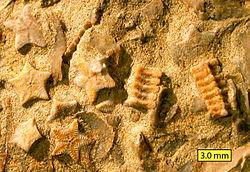<i>Isocrinus nicoleti</i>