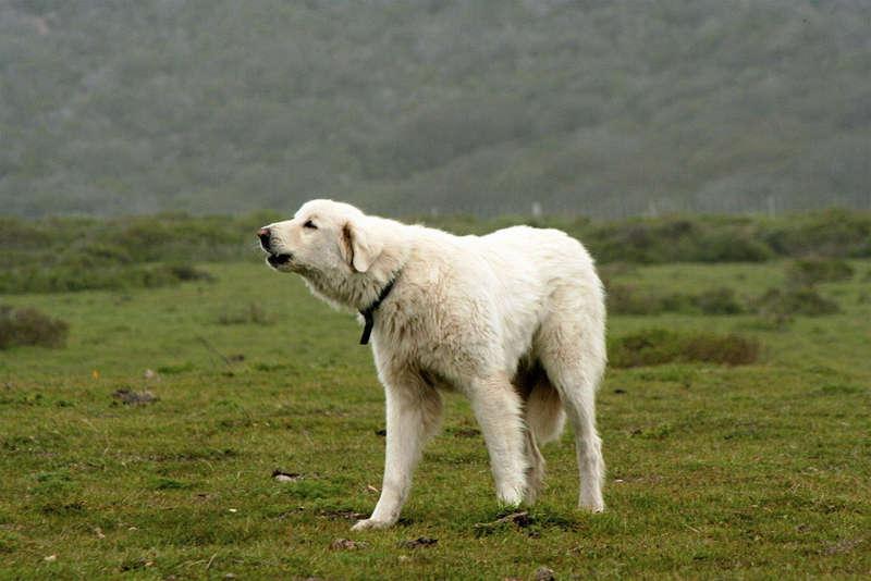 Akbaş Çoban Köpeği