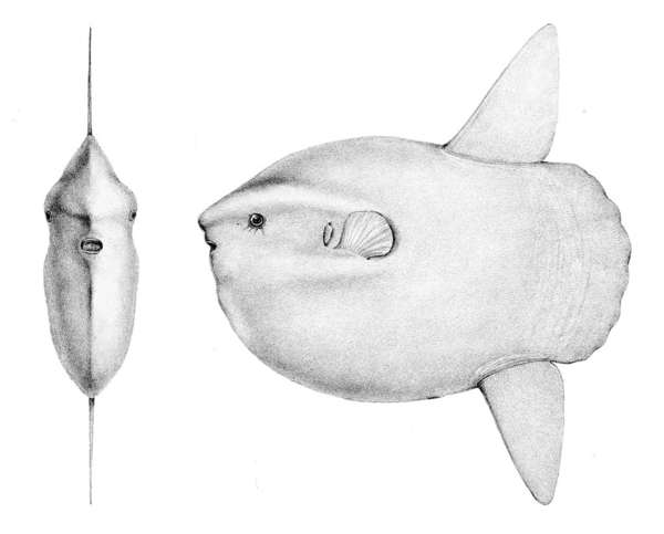 ay balığı ile ilgili görsel sonucu