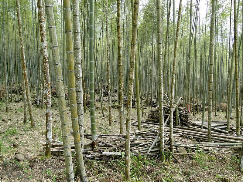 Bambu Ormanı