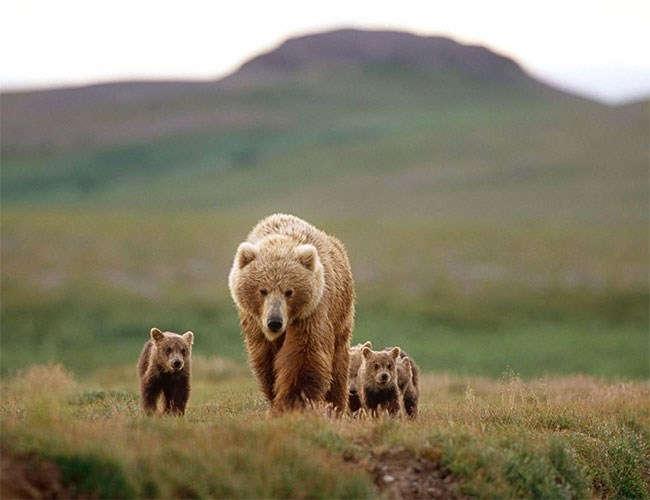 Anne bir Amerikan boz ayısı, Alaska'daki Katmai Ulusal Parkı'nda dördüzleriyle birlikte ilerliyor. Yeni araştırma, anne ayıların yavrularını saldırgan ergin erkeklerden nasıl koruduğuna dair şaşırtıcı bir bilgi içeriyor olabilir.