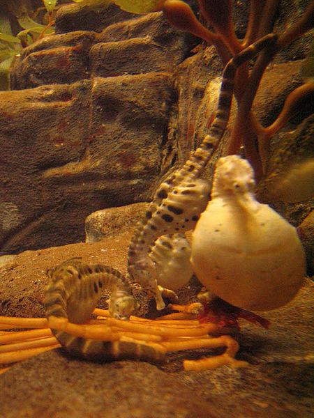 Hamile bir denizatı