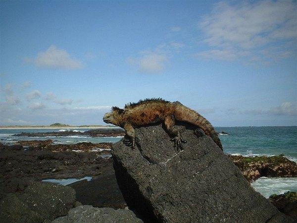 Deniz İguanası
