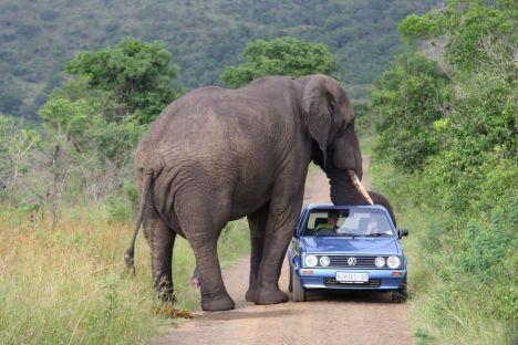 Dev Filin Safarideki Çiftin Arabasının Tavanını Ezdiği An