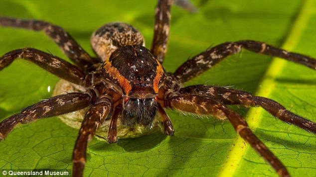 Balık ve Kurbağa Avlayan Yeni Bir Örümcek Türü Keşfedildi