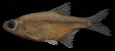 Alburnoides eminea<br /> Yeni türlerden  Alburnoides emineae Mardin'in Nusaybin ilçesinde bulunan ve Fırat  Nehri'ne dökülen Beyazsu'dan tanımlanmıştır. Bilinen maksimum standart  boyu 7,8 cm'dir. <br /> İsmi, Prof. Dr. Davut Turan'ın annesi Emine Turan'a atfedildi.