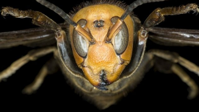 Dev Japon Eşek Arıları