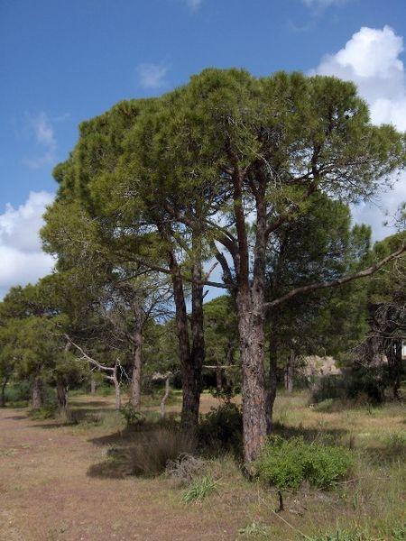 Çam Ağacı ve Türleri - Çeşitleri