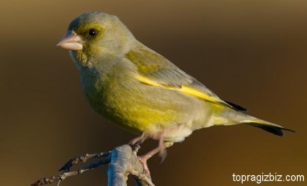 Florya Kuşu Bakımı ve Besleme Bilgileri