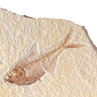 <b>Yaş:</b> 54-37 milyon yıl