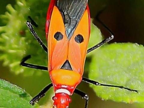 Hitler Böceği