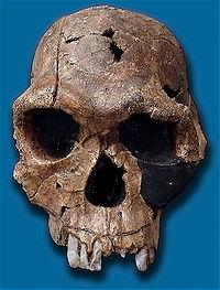 Koobi Fora'da keşfedilen Homo habilis kafatası