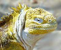 Kara İguanası