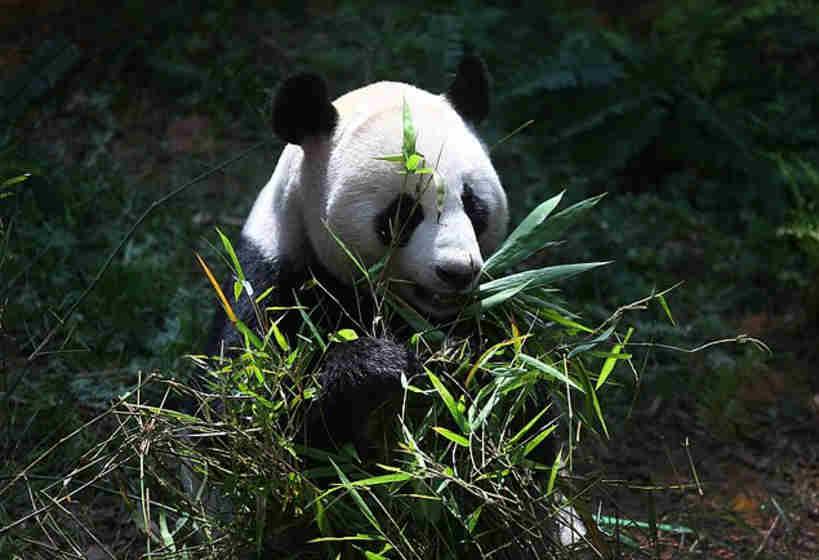 Dünyanın En Yaşlı Pandası Jia Jia 38 Yaşında Öldü