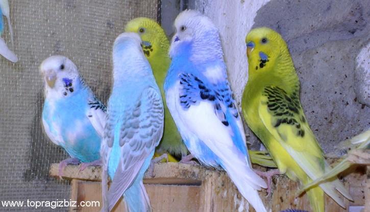 Kafes Kuşları Bakımı ve Besleme Bilgileri