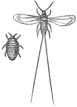 Soldaki dişi, sağdaki erkek Cochineal Böceği