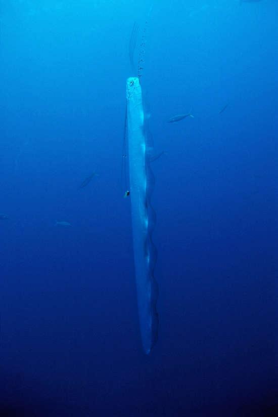 Kürekbalıkları genellikle kafaları yukarıda olacak şekilde, suda dikey biçimde duruyor.
