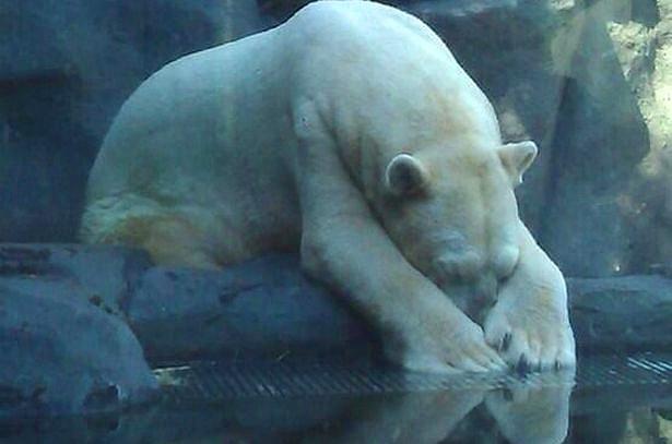 Kutup Ayısı Arturo 30 Mutsuz Yılın Ardından Hayvanat Bahçesinde Delirerek Öldü