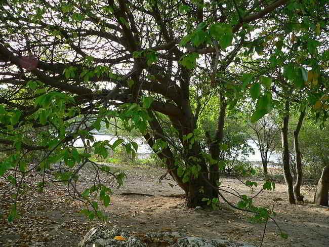 Manşinel Ağacı