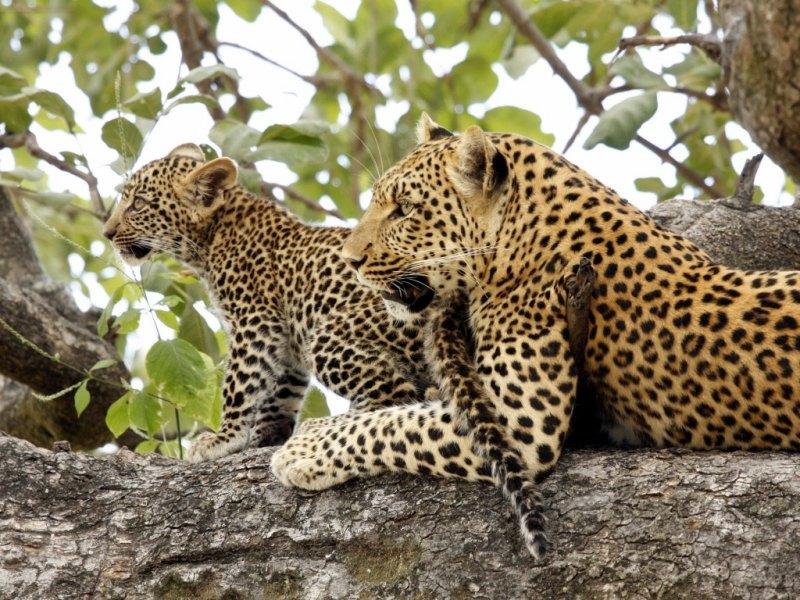 �ld�rd��� maymunun bir yavrusu oldu�unu farkeden leopar