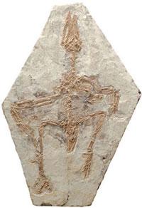 Resimde  görülen Confuciusornis kuş fosili Çinde bulunmuştur. Confuciusornis  isimli kuş Archaeopteryx ile aynı yaştadır.