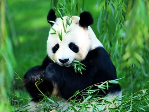 """Panda """"Bambu Ayısı"""""""