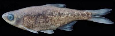 Alburnoides recepi<br /> Alburnoides recepi  Fırat Nehri'nin drenajı olan ve Gaziantep'te bulunan Merzimen Çayı'ndan  tanımlanmıştır. Bu türün bilinen maksimum standart boyu 6,5 cm'dir.<br /> İsmi, arazi çalışmalarına önemli katkıda bulunan Recep Buyurucu'ya atfedildi.