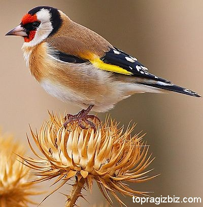 Saka Kuşu Bakımı ve Besleme Bilgileri