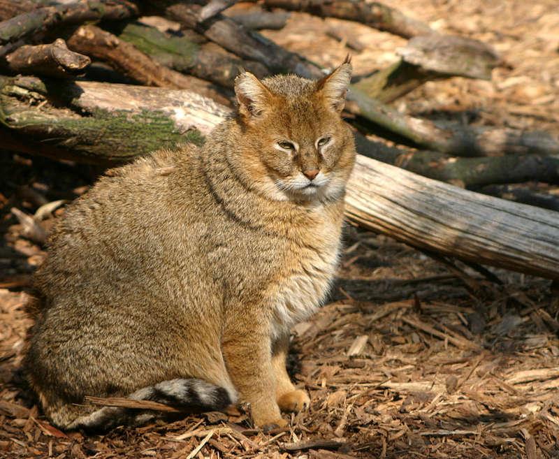 Sazlık Kedisi
