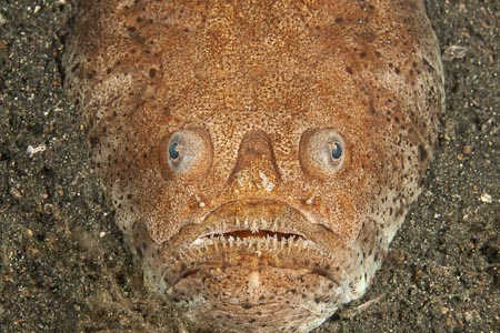 Stargazer Balığı