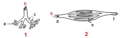 1. Omurgalı Akciğeri,<br />                     a. Alveol, b. Hava, c. Broşlar,<br /> 2. Kuş Akciğeri<br />                     d. Giriş, e. Parabronşlar, f. Çıkış