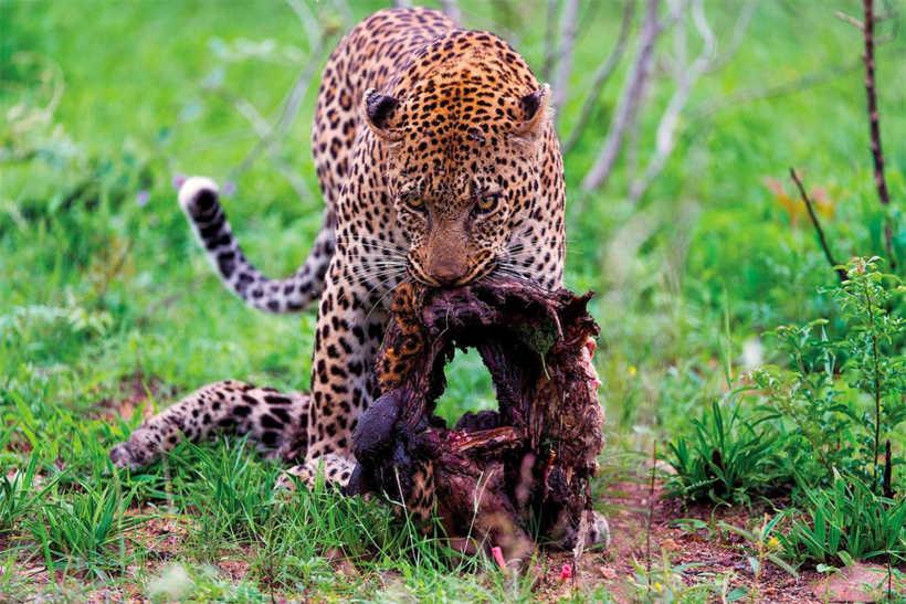 Başka Bir Leoparı Yiyen Yamyam Leopar